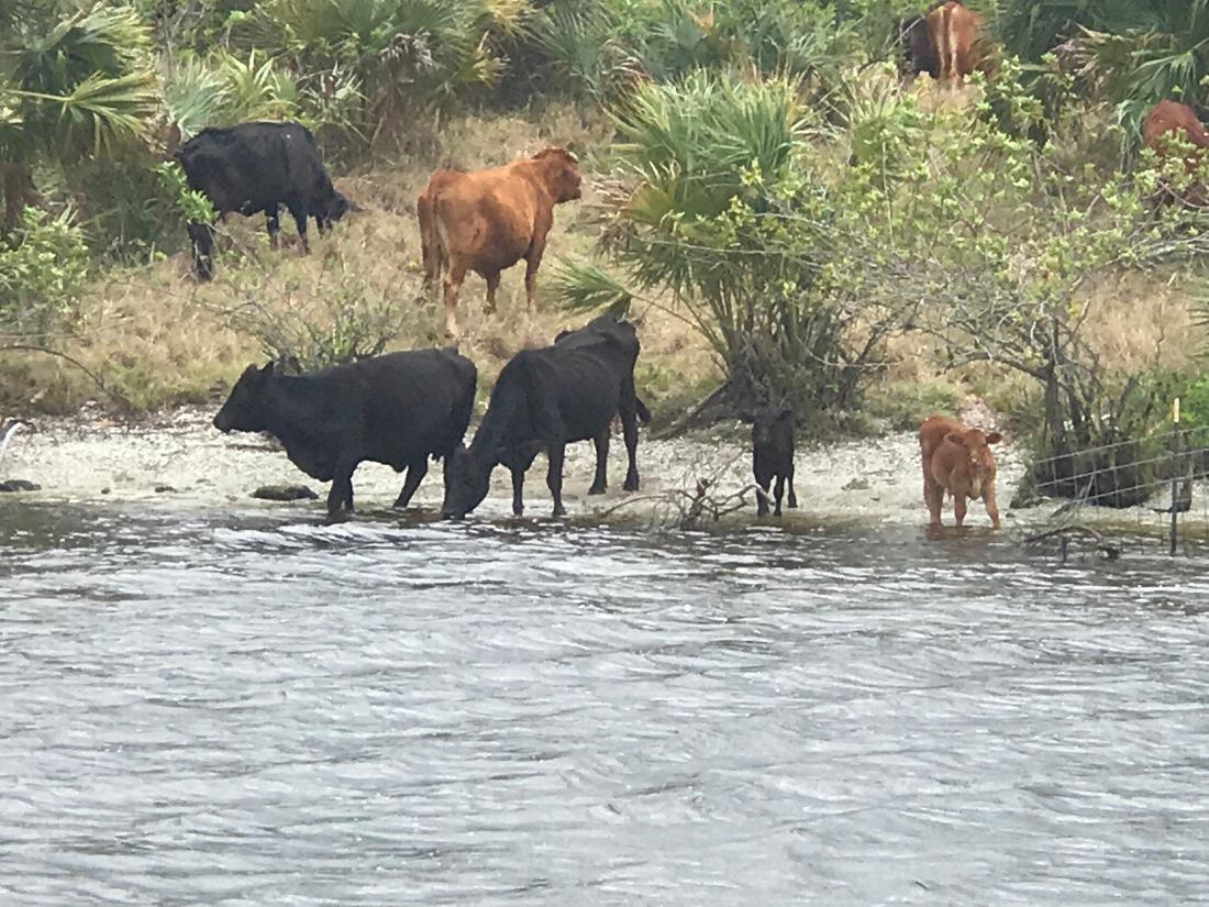 Cows 12